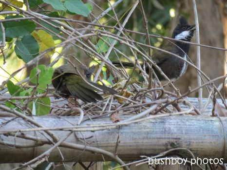 whipbird_male female02_on arbour calling_named_july 2014