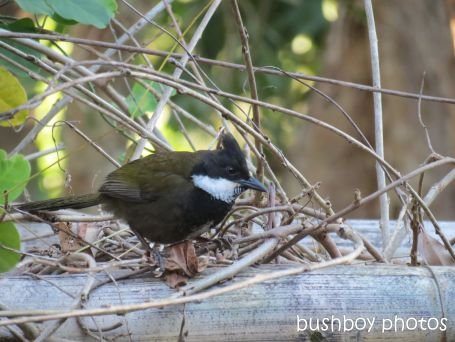 whipbird_male01_on arbour_named_july 2014