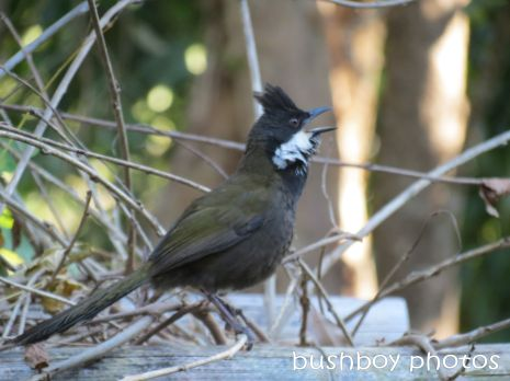 whipbird_male03 calling_on arbour_named_july 2014
