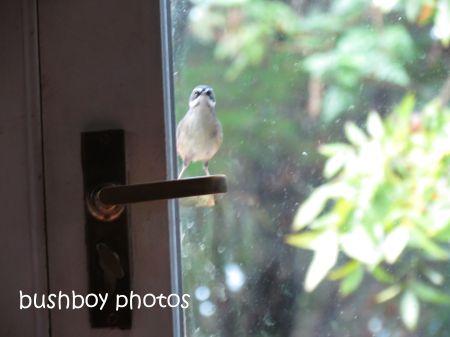 white browed scrubwren01_binna burra_door_named_june 2014