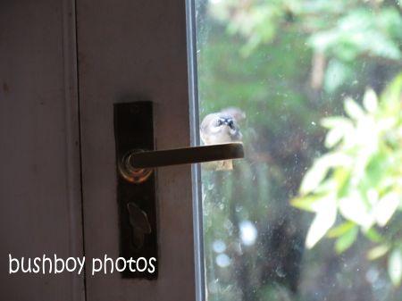 white browed scrubwren02_binna burra_door_named_june 2014