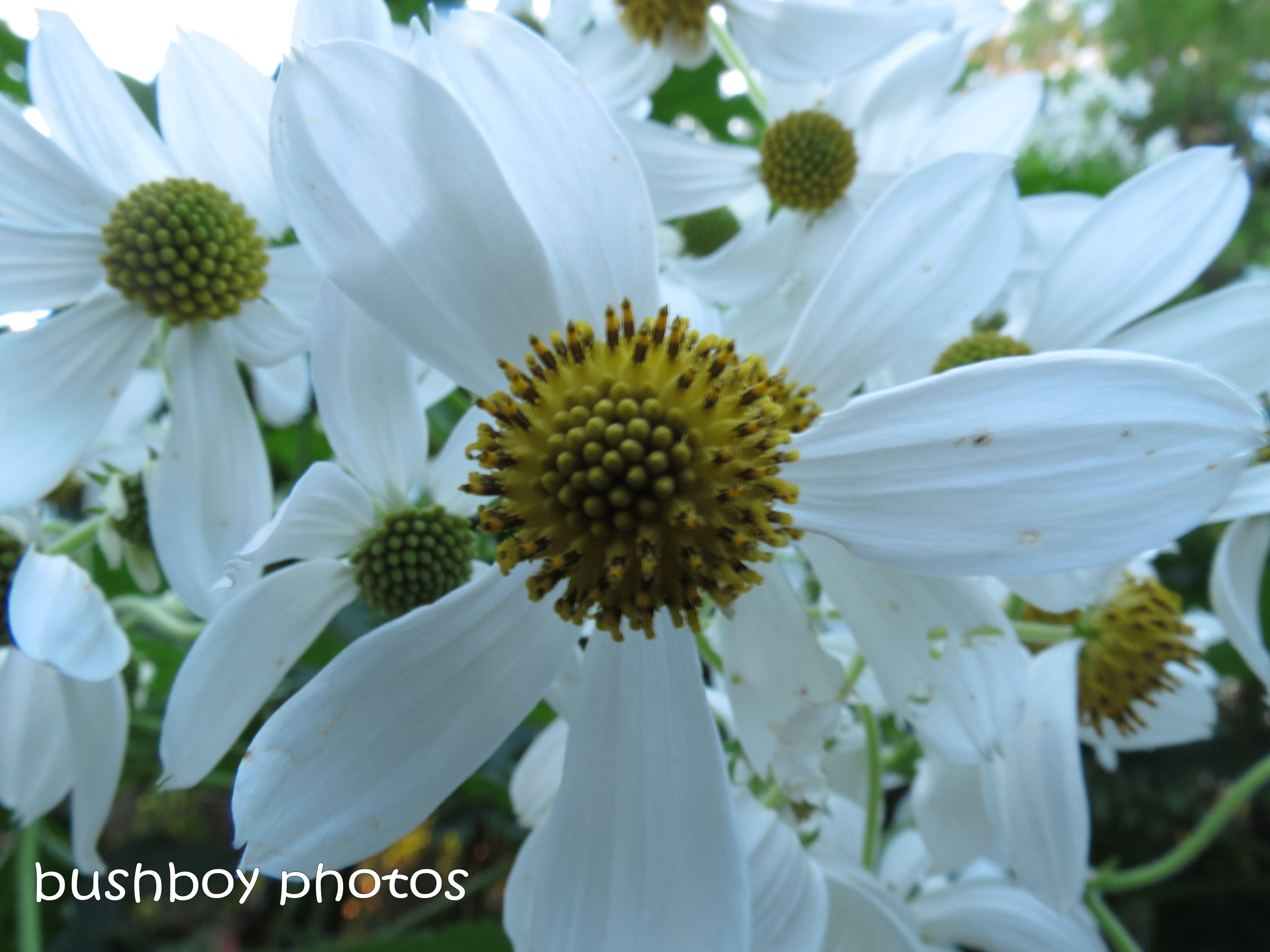 white flower_yellow centre_binna burra_named_june 2014