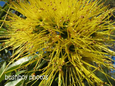 yellow_grevillia_bexhill catherdral_named_june 2014
