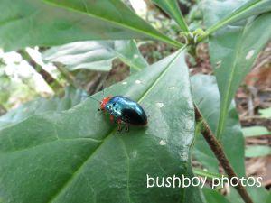 beetle_binna burra_named_aug 2014 - Copy