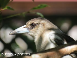 butcher bird01_banora pint_named_august 2014
