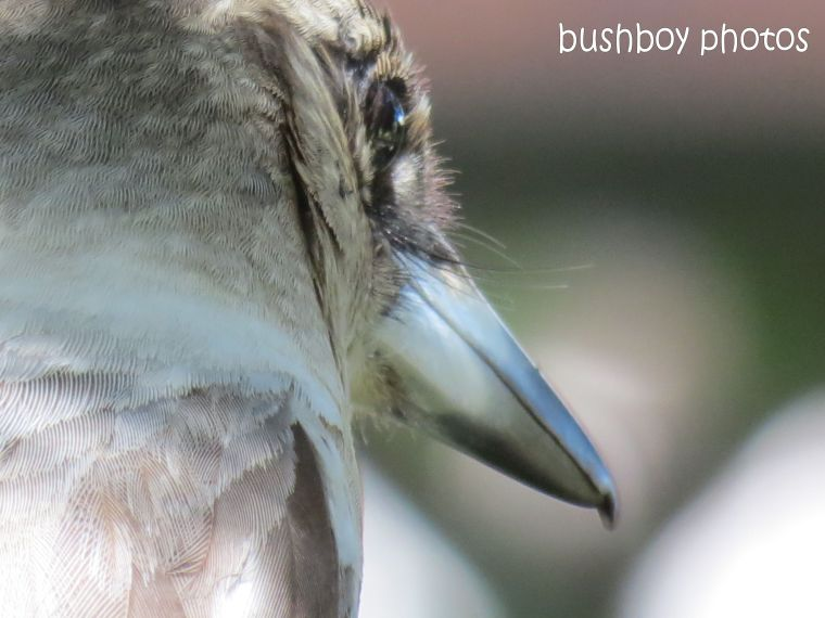 butcher bird_banora pint_close_named_august 2014