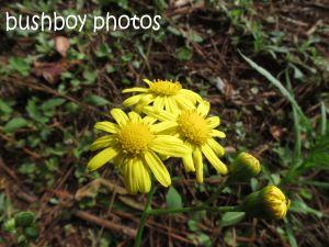 fireweed flower_binna burra_named_aug 2014 - Copy