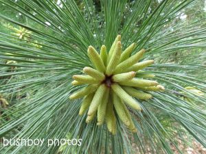 pine tree cones_binna burra_named_aug 2014 - Copy