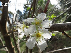 plum flowers_binna burra_named_aug 2014 - Copy