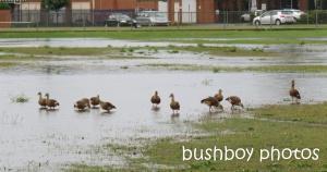 plumed whistling ducks_ballina_named_aug 2014
