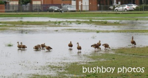plumed whistling ducks_ballina_named_aug 2014