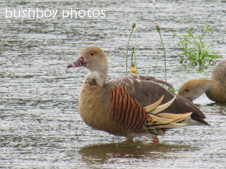 plumed whistling ducks_close_ballina_named_aug 2014