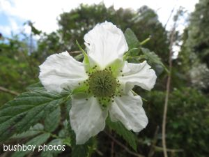 raspberry flower_binna burra_named_aug 2014