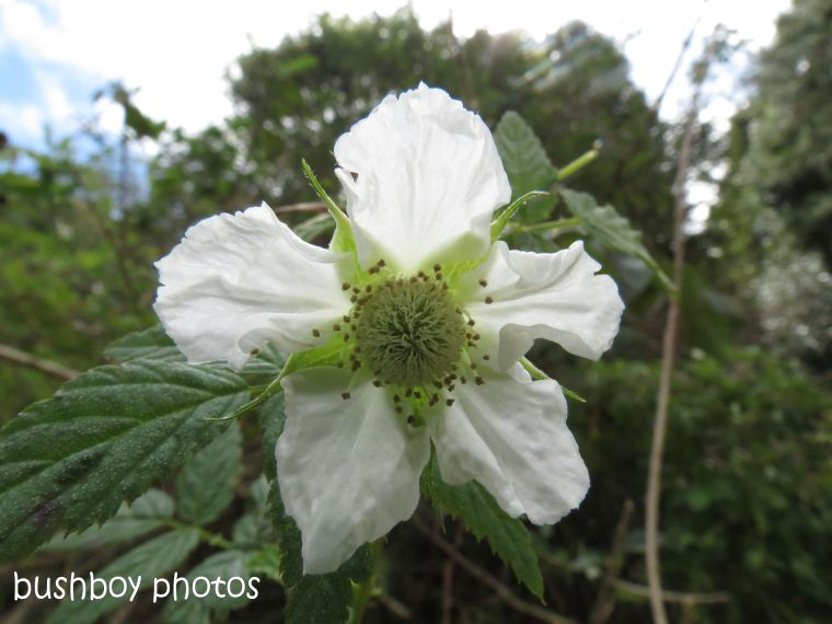 raspberry flower_binna burra_named_aug 2014