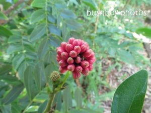 silk flower seeds_banora point_named_august 2014