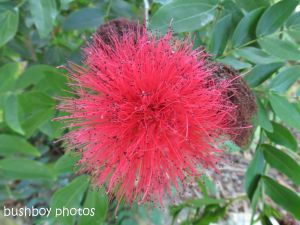 silk flower_banora point_named_august 2014