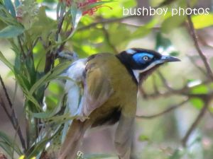 blue faced honeyeater_named_home_sept 2104