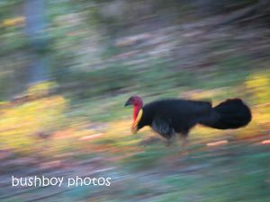 brush turkey_binna burra_named_sept 2014
