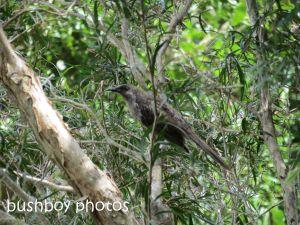 brush wattlebird01_binna burra_named_sept 2014