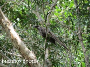 brush wattlebird01_binna burra_named_sept 2014