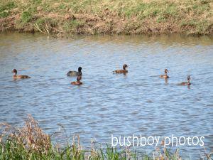ducks_named_lawrence_sept 2014