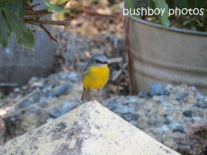 eastern yellow robin_named_home_sept 2014