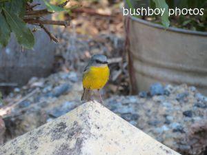 eastern yellow robin_named_home_sept 2014