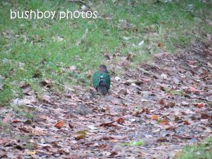 emerald dove_binna burra_named_sept 2014