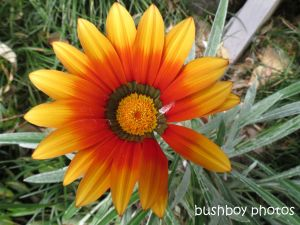 gazania_binna burra_named_sept 2014
