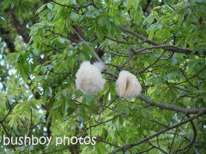kapok tree_murwillumbah_named_sept 2014