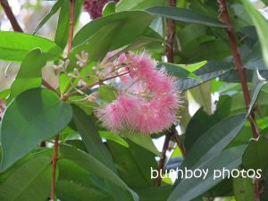 lilli pilli_pink_murwillumbah_named_sept 2014