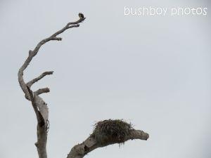 osprey01_nest_named_lawrence_sept 2014