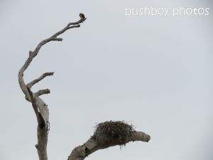 osprey01_nest_named_lawrence_sept 2014