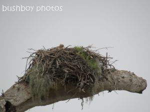 osprey_nest_named_lawrence_sept 2014