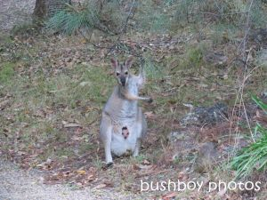 red necked wallaby_joey_grevillia_home_named_home_sept 2104
