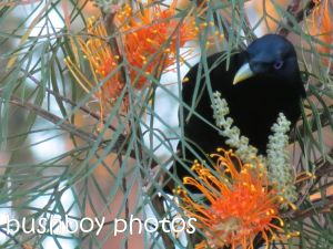 satin bowerbird02_home_named_sept 2014