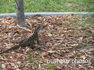 water dragon_murwillumbah_named_sept 2014