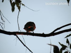 wattlebird_sunset_binna burra_named_sept 2014