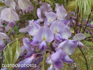 wisteria_binna burra_named_sept 2014
