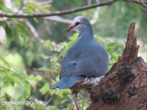 wonga pigeon01_binna burra_named_sept 2014