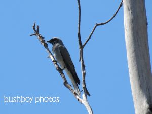 black-faced cuckoo shrike_home_named_sept 2014