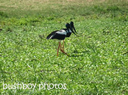 black necked storks_ulmarra_named_oct 2014
