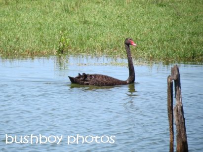 black swam_clarence valley_named_oct 2014