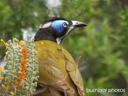 blue-faced honeyeater01_home_named_oct 2014