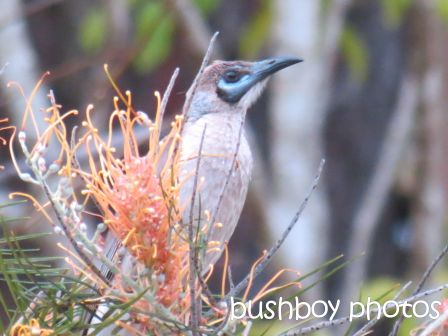 blue faced honeyeater_young_home_named_oct 2014