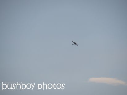 brolga01_flying_tucabia_oct 2014