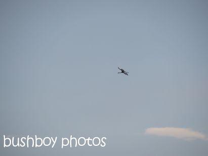 brolga01_flying_tucabia_oct 2014