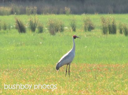 brolga_tucabia_named_oct 2014