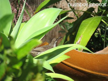 brush wattlebird_binna burra_named_oct 2014