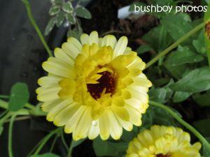 calendula_binna burra_named_oct 2014